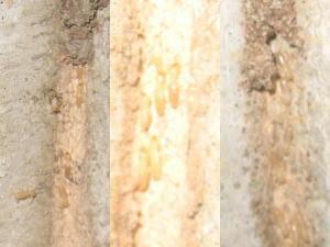 蟻道内のシロアリ